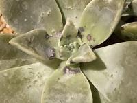 多肉植物の葉に黒い模様が出てます。 症状や原因について知っている方はいませんでしょうか。  種類はグラパラリーフです。
