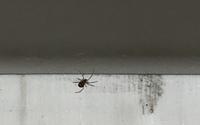 クモについて質問です。タンスの裏など家具を動かしての掃除をしていたら、3ミリくらいのクモが居ました。このクモは良く見るんです。 掃除機は毎日かけるのですがなかなか家具をずらしては毎日は出来ません( ; ...