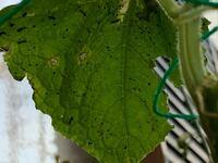 きゅうりの葉の裏に小さい虫?と蟻が沢山いました。アブラムシですかね? 対処法が知りたいです。