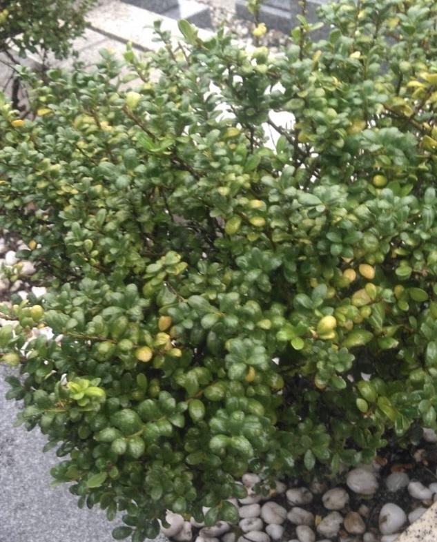 お墓に植えてある植木です。 これと同じ物を植えたいのですが、これはなんの植木か分かりますか?
