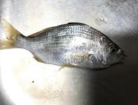 三重県で見たことない魚が釣れました! この魚の名前教えて下さい。 食べ方もお願いします。