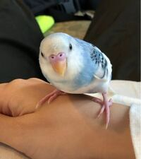 セキセイインコについて詳しい方にお聞きします! 1ヶ月半の子なんですが、止まり木に止まらず、ゲージの端っこで羽をばたばバタバタさせている時があります。 おしりを少しあげたようなポーズも一瞬見ました。 ...