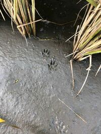 すみません。 この足跡は何の動物なのかわかる方おられますか? アライグマかなとは思っているのですが。