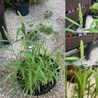 イネ科?の植物、インコの餌について教えてください。  セキセイインコを飼っています。 体重の10%程度のシードとペレットをあげていて毎日全て入れ替えるので、2ヶ月前から残りや殻は土留めで仕切った中に捨てています。  その仕切った所から芽が出て穂が実りはじめました。このように自生した物をおやつに与えても問題ないでしょうか?  与えるなら、収穫のタイミングやそのまま与えるのか、洗って...