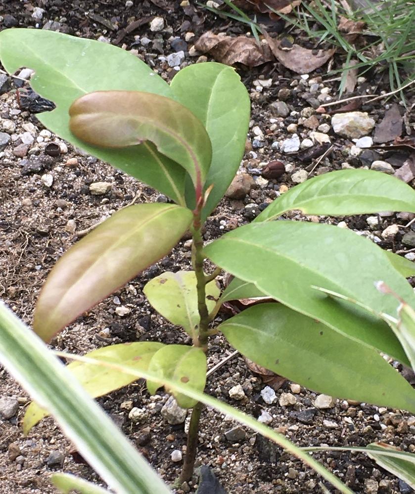 この植物の名前を教えてください。 庭の植物の間に生えてきました。名前がわかる方がいらっしゃいましたらよろしくお願いします。