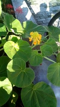 このジギタリスに似た黄色い花を付ける葉の大きさが20cm位の植物の名前を教えて下さい。