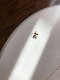 家に写真のような蜘蛛が出ました。 何という蜘蛛かわかりますか?