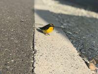 今朝、この鳥がずっと家の前にいました! なんという鳥でしょうか?