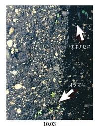 ご享受ください。 写真は発芽したばかりのエキナセアとオダマキです。 まだまだ小さいのですが、どれくらいに育ったら花壇に移植してよいものでしょうか。 また、ゴッソリいっちゃってもよいでしょうか?  普...