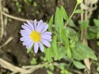 この花はなんですか? 北関東の河川敷の橋の下で見つけました。調べたところヨメナかと思いましたが、花びらが少し太い気がします。周りに生えているものもこのタイプでした。