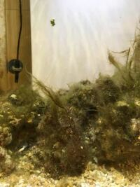 ライブロックの苔についてです。 カクレクマノミを飼育していますが、ライブロックに苔がついて困ってます。カクレクマノミ二匹、シッタカガイ二匹、ヤドカリ三匹を45センチ水槽で飼育しています。 最初ライブロ...