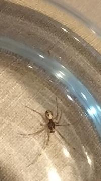 この蜘蛛はセアカゴケグモのオス?幼体ですか? ネットの画像だと頭と腹の比率が違う気がしますが柄はよく似てます。詳しい方教えて下さい。サイズは脚をふくまないと4ミリ位です。