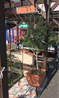 オリーブの鉢植えについて質問です。 ホームセンターでオリーブの鉢植えを見つけ買おうとおもっているのですが、これはずっとこの前庭に置いていても根詰まり、枯れたりはしませんか? この大きさだと植え替えも難しいと思いますが、このままの状態を維持できますか?