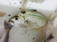 この魚のお名前を教えて下さいm(_ _)m沼津港で釣りました。