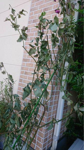 先日バラの植え替えをしたら元気がなく枯れそうです。どなたか原因と対処法を教えて下さい。 地植えしているバラを別の場所に植えました。
