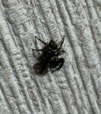 【クモ注意】アダンソンハエトリ? よく自分の家にいるハエトリグモですが、茶色一色、黒一色は見るのですが、下半分茶色、上半分が黒色のハエトリグモがいました。写真では分かりにくいのですが、色的には前述した ものそのままの色を半分ずつ分けたような感じです。初めて見たのですが、特に珍しくはないのでしょうか?