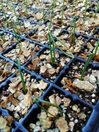 玉ねぎの種を播いて発芽したのですが、一ヶ所に一粒ずつ播いたのに2本芽が出ているところが数カ所あります。 種が小さいので、間違って2粒播いたのかとおもったのですが・・・芯先に種の殻が取れずに付いて、よく観てみると同じ種から発芽したように見えます。  よくあることなのでしょうか?