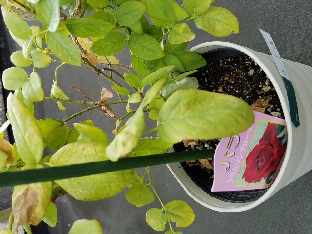 季節的に遅いかなと思いましたが 薔薇(クリムソングローリー)の苗を買ってみたのですが。 ミニ薔薇は何度も育てていますが普通のバラは初めてでよく分かりません。 今この状態なのですが パッと見てこれ...