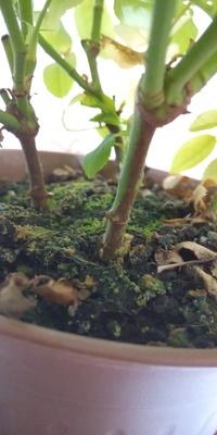 ミニバラを育てているのですが、根元が黒くなってるのがあります。 鉢植えです。 葉っぱは多くついてて蕾もいくつもありますが、これは病気なのでしょうか? このまま育てて良いのか何か対処方があれば教えていた...