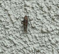 貝に詳しい方お願いします。 家の玄関に貝のようなモノが数匹くっ付いています。こちらは何という種類なのでしょうか?又、人体に害や悪影響はありますか?よろしくお願いします。