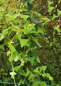 添付写真の植物の名前教えてください