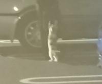このネコちゃんは、飼ってほしいと猛アピールしてますか? 数か月前の夜中に近所のスーパーマーケットへ行きましたが、駐車場で白っぽいネコちゃんを見つけました。 見ていると、何人かの比較的温和そうな人へ近...