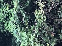 植物の名前が知りたいです。  写真がわかりづらくて申し訳ないのですが 画像のピンクの花の植物わかる方いらっしゃいませんか?スマホでの撮影で近づけるギリギリの所まで行きました。 よろしくお願いしますm(...