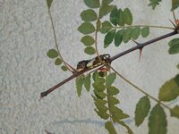 アゲハ蝶の幼虫が庭の山椒の木にいます、最近は最低気温が下がって10℃近くになってきました。 こちらは東京都内です。 このままサナギになれますか? 寒くて凍死するようでしたら、家の中に保護もできますが逆に家の中に入れる事で寒い時期に羽化してしまってもかわいそうです。見守るだけで良いか他にアドバイスとかありましたらお願いいたします。 まだ色んな段階の子がいます。