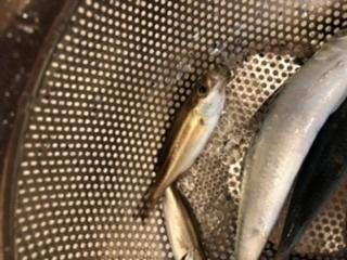 すみません、堤防で釣った海の小魚ですが、写真の左上の魚、なんでいう名前でしょうか?