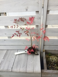 写真の赤い葉の植物は、何という植物ですか? 詳しい方、教えていただければ嬉しいです。 アスファルト道路の側溝に、草丈の高めの雑草やシダ系の植物と一緒に生えていて、この枝だけ赤い葉が際立って可愛かった...