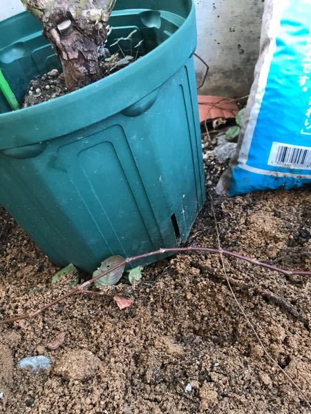バラの鉢穴から根が伸び地面の土に根を張ってしまい困っています。 人からもらったバラ(多分、ピエールドロンサール?)をプラ鉢のまま水やりくらいで適当にほったらかしにしていました。 2年ほどほとんど...