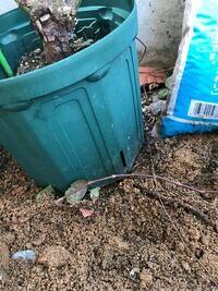 バラの鉢穴から根が伸び地面の土に根を張ってしまい困っています。 人からもらったバラ(多分、ピエールドロンサール?)をプラ鉢のまま水やりくらいで適当にほったらかしにしていました。 2年ほどほとんど背丈も大...