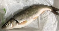 防波堤で釣りをしました。この魚の名前わかる方いますか? どうやったら美味しく食べれるかなど教えていただけると嬉しいです!よろしくお願いします。