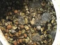 友達からサボテン栽培キットのようなものを貰いました。種をまいてから2週間ほどたって見てみたところ画像のようになっていました。 (見えずらかったらすみません)これは発芽ということでいいのでしょうか?それとも何かのカビでしょうか? 教えて下さい!!