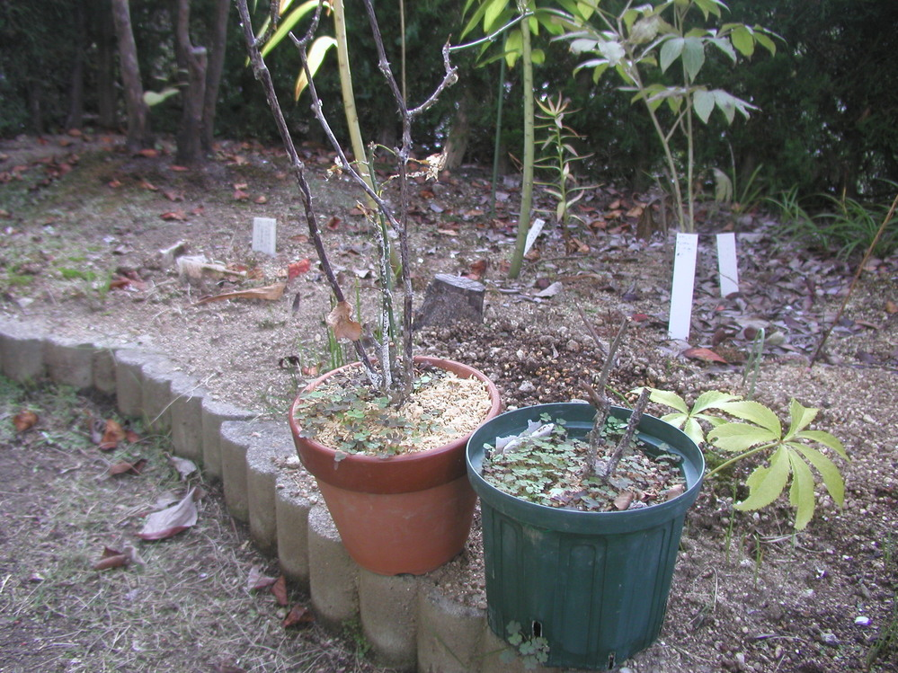☆バラのうどん粉病について 1 趣味で鉢植バラを楽しんでいます。 2 ところで,昨年まで花が咲いていたバラが,今年はうどんこ 病に罹り,写真のように枯れてしまいました。 3 春にうどん粉病に罹っ...