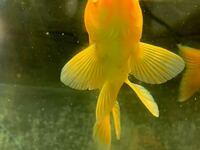 金魚のお腹辺り?に付いているこのトゲみたいなのはイカリムシって奴ですか? 詳しくないので教えてください┏○ペコ
