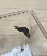 クロアゲハの蛹なのですが、この蛹は羽化直前なのでしょうか?