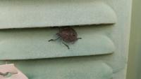 この昆虫はカメムシですか? 名前がわかる方教えて下さい