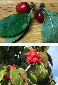 散歩の途中にある木に、赤い実がたくさんなっていました。落ちていた実と、実付きの小枝をいただきました。名前をご存知の方ご教示いただきたく、お願いします。