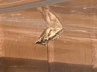 キアゲハの幼虫を飼育しています。現在サナギになって3週間ほど経過したのですが、生きているのか死んでいるのかわかりません。 時期的にも夜は冷えてきて越冬の準備をしているのかもしれませんが、見た目から生...