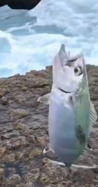写真の魚の名前を教えてください。 磯で釣れました。