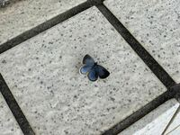 玄関前の階段に止まっていた蝶なのですが、この蝶の名前をご存知の方はいらっしゃいますでしょうか? 急いで撮ったもので見にくいとは思うのですが、画像を見て名前を教えていただければと思います。  よろしくお...