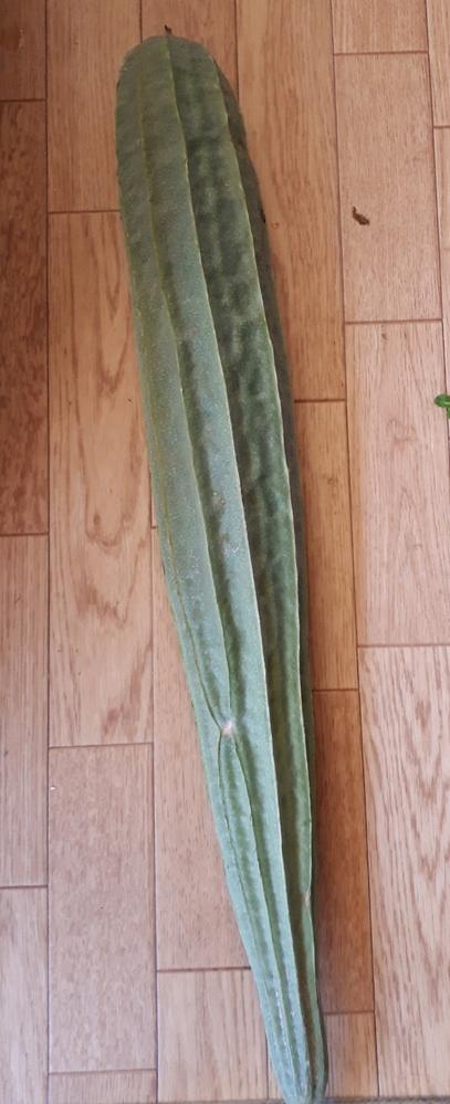 野菜に詳しい人に質問です。この野菜はなんという野菜ですか? ゴーヤだと思って植えたら別のものが育ちました。食べれるものなのか知りたいです
