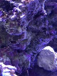 海水水槽のライブロック全体に、白い蜘蛛の巣のような藻?がついてしまいました。サンゴも覆われ萎れています。 以前もライブロックが覆われたので、水を入れ替えライブロックを一個ずつ洗い落としました。同時に...