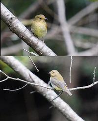 教えてください。 野鳥に詳しい方、この鳥はキビタキ幼鳥(♂♀)でしょうか?? 九州、福岡、都市公園、10月下旬、です。