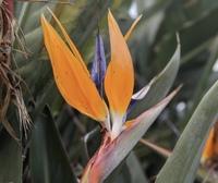 写真の植物、綺麗と思って撮ったのはいいけど名前が分かりません。どなたか詳しい方お願いします あとこのオレンジの部分は花弁ですか?蕾ですか?
