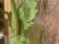 蛾の幼虫の育て方を教えてください。 リーフレタスについてました。 こちらで質問をして蛾の幼虫らしい、ということが分かりました。 (蝶だったら嬉しかったのですが…) ・エサはレタスだけで大丈夫でしょうか...