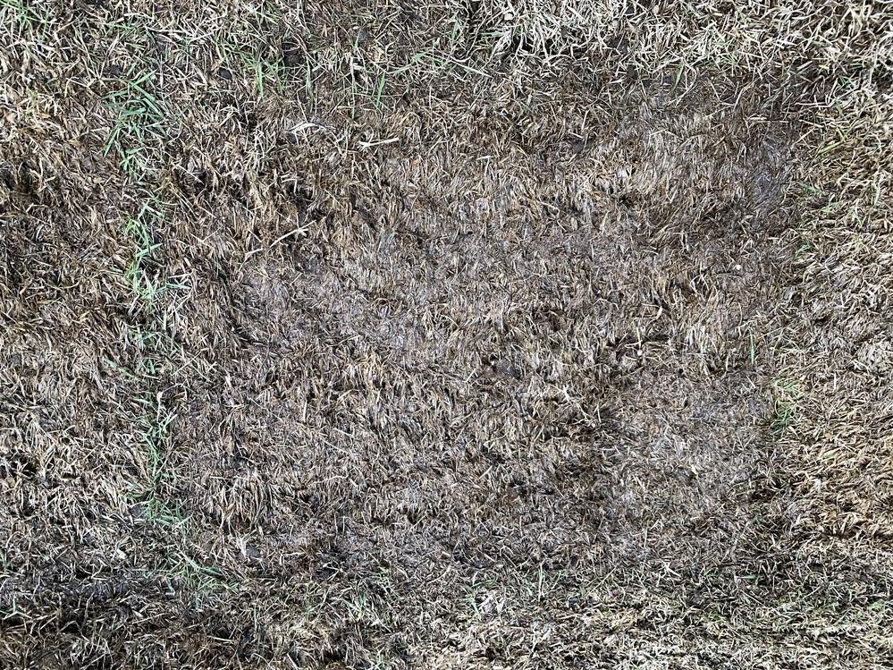 ホームセンターで見切り品として販売されていた芝マットを購入して芝を張りおよそ1週間が経ちました。水やりは毎日欠かさずに行っています。 芝らしくなってきているマットもありますが、藁みたいになってし...