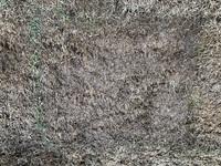 ホームセンターで見切り品として販売されていた芝マットを購入して芝を張りおよそ1週間が経ちました。水やりは毎日欠かさずに行っています。 芝らしくなってきているマットもありますが、藁みたいになってしまっ...