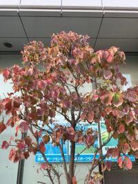 この赤い木の実を付けた木はなんという名前ですか? 池袋界隈では沢山植えられているのです。